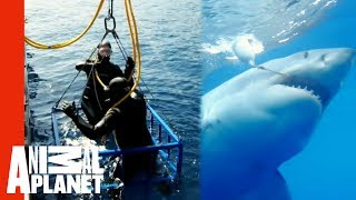 Great White Snaps Cage in Half | World's Scariest Animal Attacks
