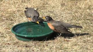 Drinking Behavior of the American Robin