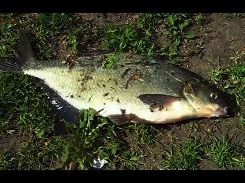 самая уловистая прикормка для ловли белой рыбы