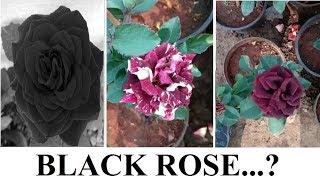 20+ Black Tiger Rose .....? Black Rose Plant ..... ?  for Exhibition
