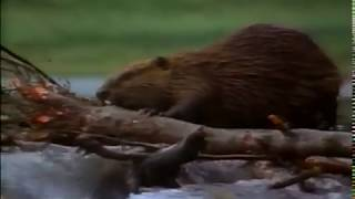 Rocky Mountain Beaver Pond - National Geographic VHS video