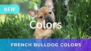 Royal Frenchel French Bulldog Designer Hybrid Breed