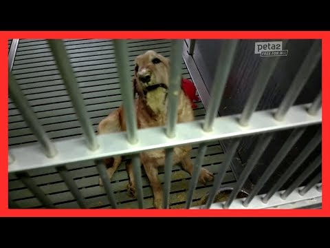 Dogs Bred to Suffer and Waste Away in Labs