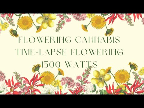 6 Month Time Lapse Flowering MMJ with LED Grow Light-- Black Dog LED--1500 Watts