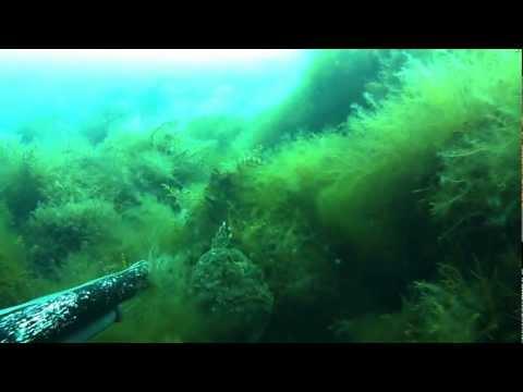 Морской ерш скорпена Черное море