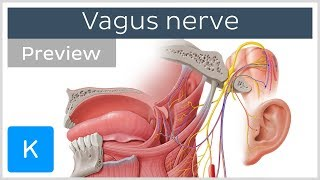 Vagus nerve: location, branches and function (preview) - Neuroanatomy |Kenhub