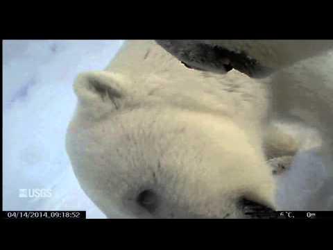 Cómo ve la vida un oso polar
