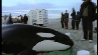 Sauvetage d'un orque échoué sur la plage