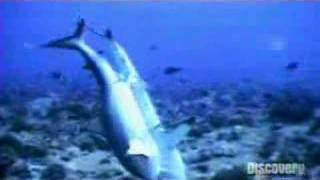 サメの交尾2