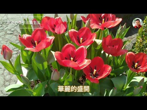 2020 士林官邸歷屆最多花的鬱金香展  Shilin Residence Tulip Show