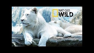 White lions rare and endangered animals - National Geographic Documentary