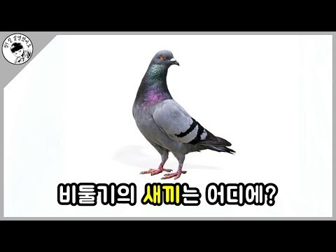 [담토상] 우리가 새끼 비둘기를 본 적이 없는 이유를 알아보자.