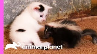 Black And White Kittens Welcome An Oddball Orphan To Their Family | Too Cute!