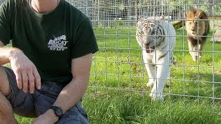 Never Turn Your Back on BIG CATS!