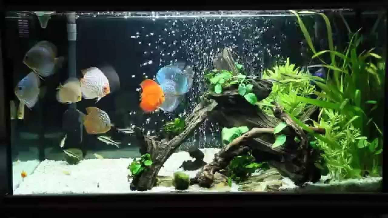 Fish Aquarium Video Youtube Discus Fish Tank Youtube