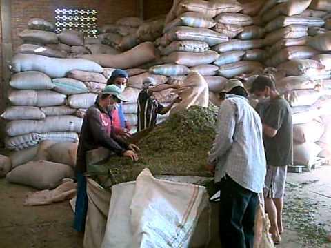 CAMPO FLORIDO    Preparación de Plantas Medicinales para la Exportación