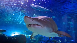 Lunch-time with the sharks, sawfish and many more fish at Ripley's Aquarium of Canda!