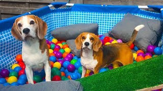 💦🌞POOL TO BALL PIT AFTER SUMMER🌞💦 : Funny Dogs Louie and Marie