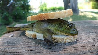 Making a FROG Sandwich - Catch n' Cook Bullfrogs!