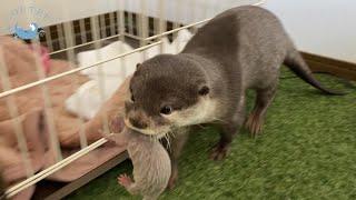 カワウソの赤ちゃん、誘拐事件発生!?【生後2日目】 Otter baby! Kidnapping case occurred! 【Day2】
