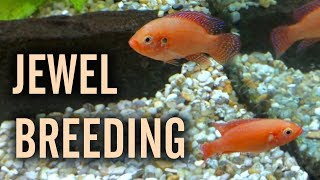 Red Jewel Cichlids Breeding in a Community Tank