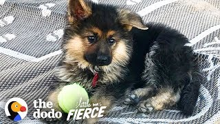 The German Shepherd Puppy Will Never Grow Up | The Dodo Little But Fierce