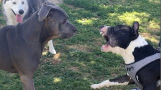 Bull Terrier/Pit Instigates Conflict at Dog Park; Cooler Heads Prevail