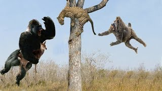 Leopard vs Cheetah, Hero Monkey Rescue Antelope From Cheetah hunting - Wild Animals 2018