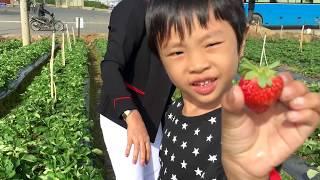 Stin Dâu - Vui Hè Đi hái dâu ở Đà Lạt vui lắm các bạn - Strawberry