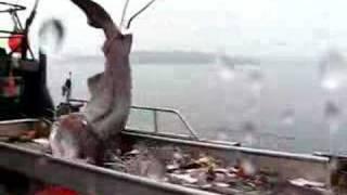 カグラザメ水揚げ
