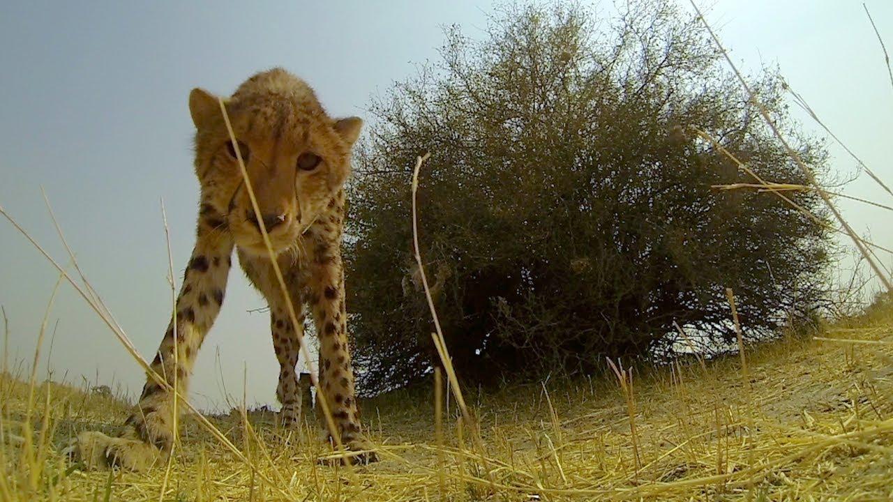 Le baiser du guépard