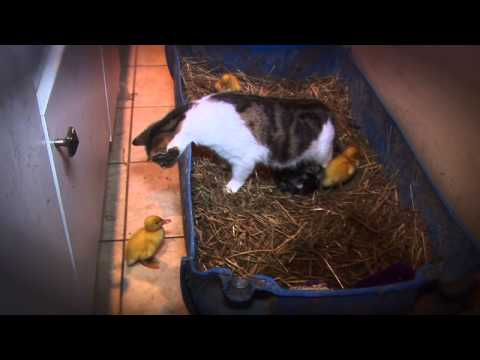 Mama Cat Adopts Ducks