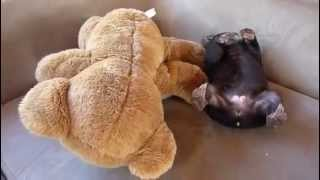 Orphaned wombat joey Little Ed playing