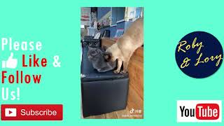 Brown Cat Try To Annoying Black Cat But Falled! Funny Cat Video
