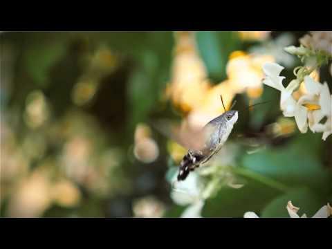 Macroglossum stellatarum