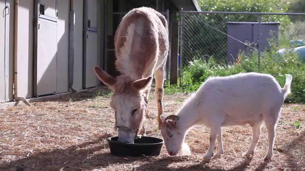 Superbe histoire d'amitié entre un bouc et un âne