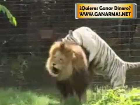leon y tigre blanco - photo #11