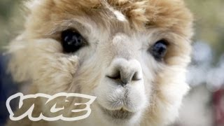Cute Alpacas!