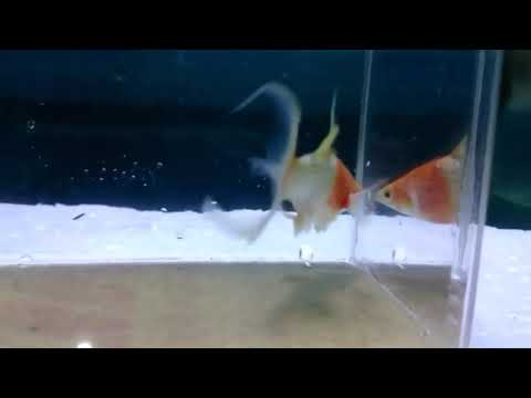 video Koi Molly Ornamental Fish