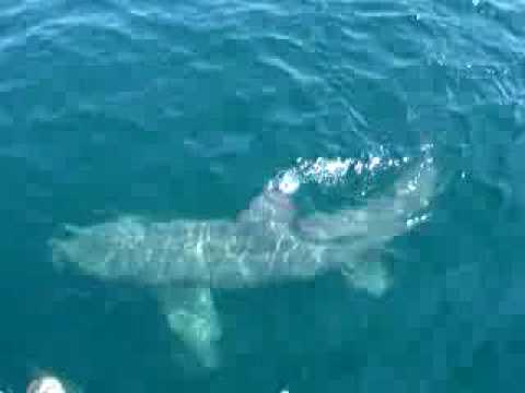 The gallery for --> Basking Shark Attack Human