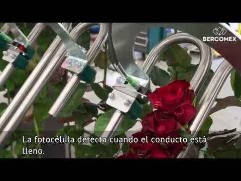 La nueva RoseMatic: el sistema de procesamiento de rosas