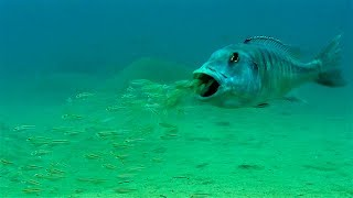 Mouthbrooding Fish - Curious Creatures