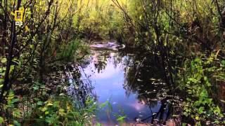 Nature's Engineers HD The Dam Beaver  National Geographic Documentary