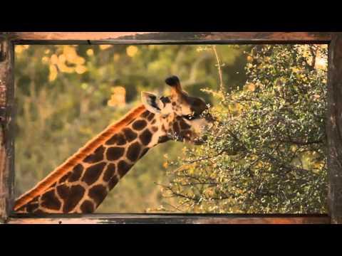 Giraffe - African Sky