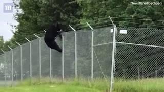 Snimka ogromnog crnog medvjeda kako preskače bodljikavu žičanu ogradu osvaja internet! (VIDEO)