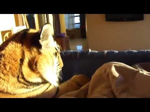 Dormire con una Tigre ? E' Un idea ^^