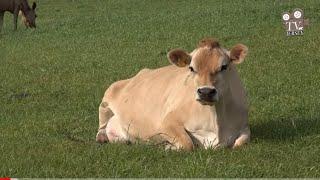 Cabanha Ventana Jersey - Criatório de Gado Jersey no sul do Brasil é destaque na produção de leite