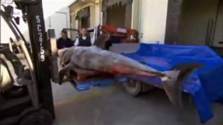 Documental tiburon blanco parte 1