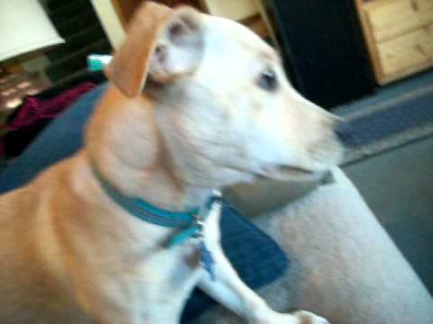 lab jack russell pit mix - photo #25
