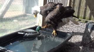 """""""Woody"""" the Bald Eagle and duck decoy enrichment"""